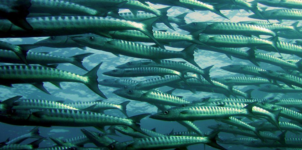 barracuda-fish-ocean-66218
