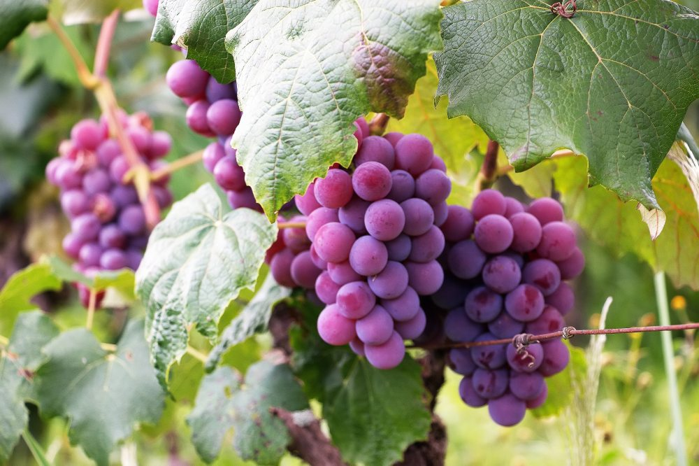 agriculture-berries-bunch-760281